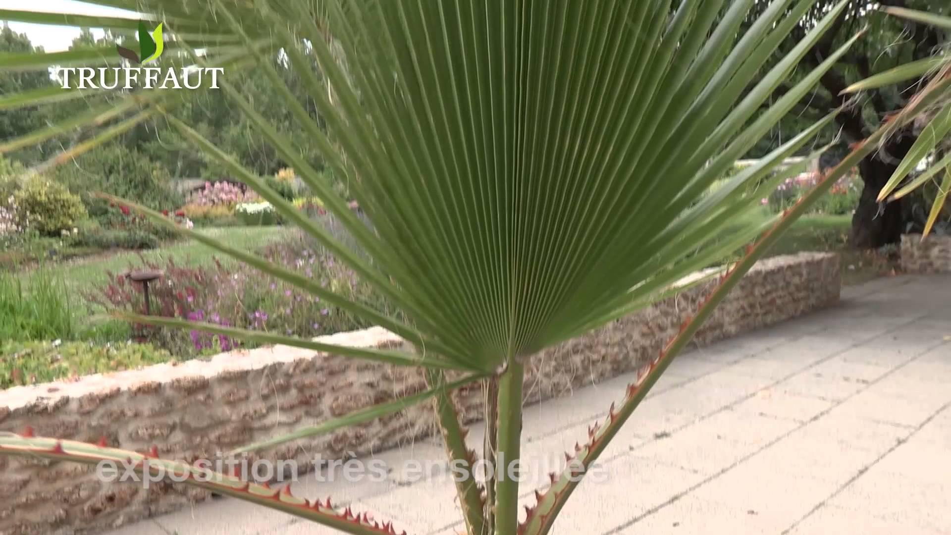 Comment planter un palmier - Quand tailler un palmier ...